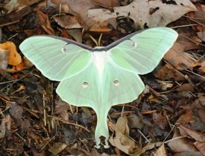 Luna-Butterfly